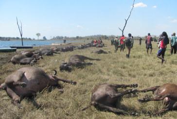 400 buffaloes drown in Chobe River