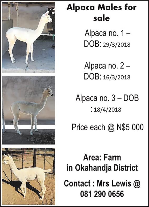 Alpaca Male For Sale
