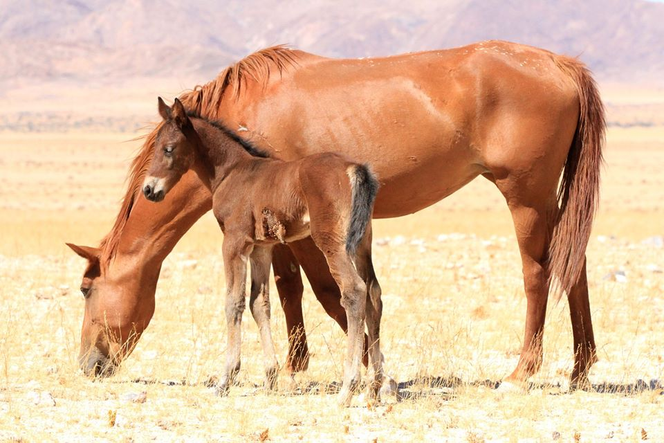 Attack leaves survival of desert horses hanging in the balance