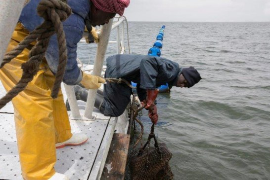 Harvesting of mussels and oysters temporarily halted