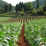 Cabinet approves tobacco plant, a first for Namibia