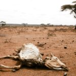 Drought caused massive loss of animals
