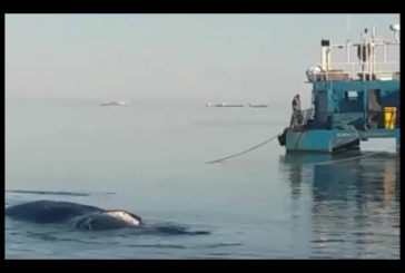 Whale euthanized and towed away