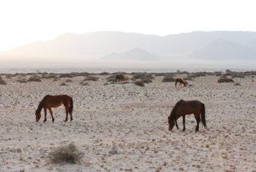 Intervention pays off for Wild Horses of the Namib