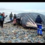 Whale carcass beaches again