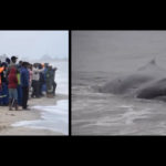 Beached whale might be euthanized