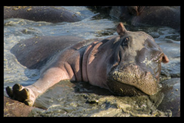 63 Hippos stuck in pond as water dries up