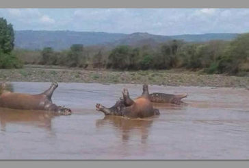 More tests to be done on mysterious hippo deaths
