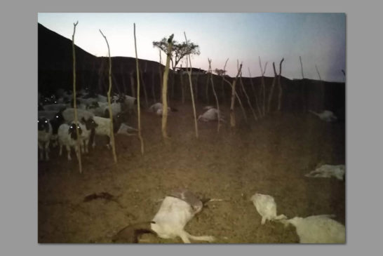 Lions kill goats in Torra conservancy