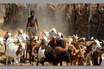 Livestock traveling long distances for water